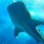 【意外に穴場】 沖縄・美ら海水族館はカフェ「オーシャンブルー」最前列席が超オススメ